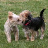 Připouštění psů – Krytí feny