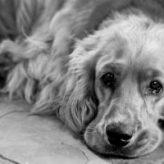 Lupy u psa