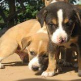 Psinka u psa: příznaky a léčba
