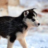 Rasy psů podle abecedy